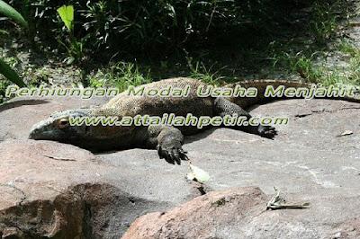 Air Liur Komodo