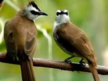 ciri burung trucukan jantan bermental bagus