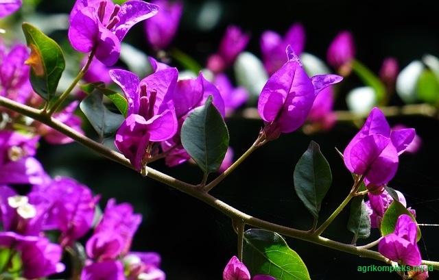 Cara menanam dan merawat bunga bougenville, bunga kertas, budidaya