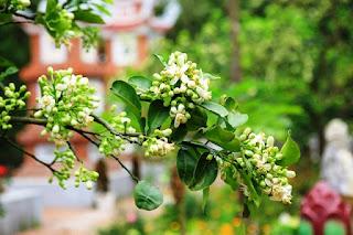 Hoa bưởi dùng ướp chè Tân Cương