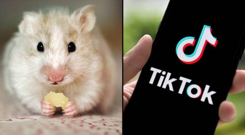 Hamster Pp Tiktok Begini Wajah Lucunya Area Tekno