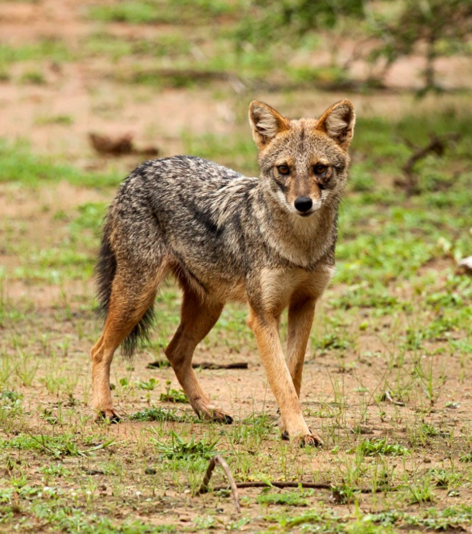 Shukernature The Horned Jackal And The Narri Comboo A Horn Of