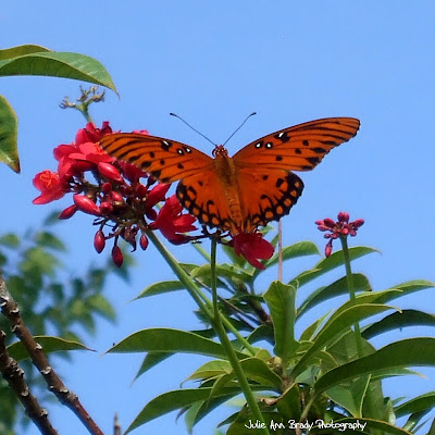 Gulf Fritillary Butterfly - Discovery Gardens