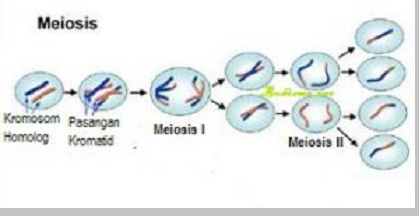 Pembelahan meiosis - berbagaireviews.com