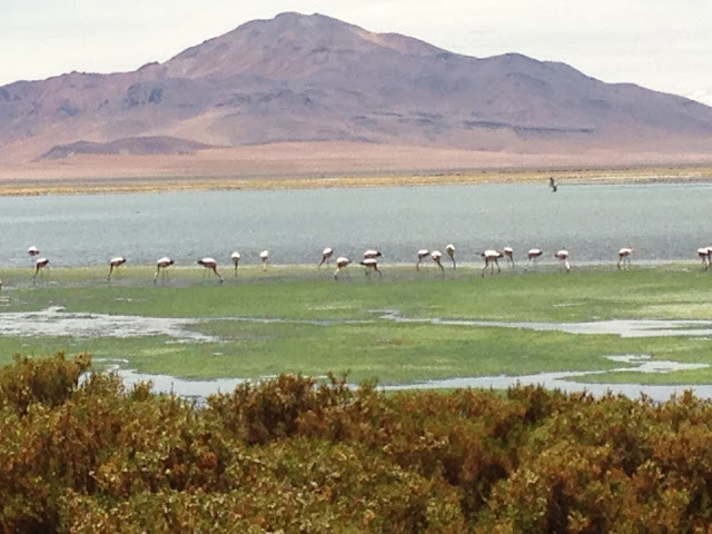 Flamingos Chile