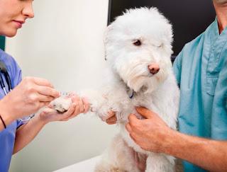 αιμοληψία από σκύλο