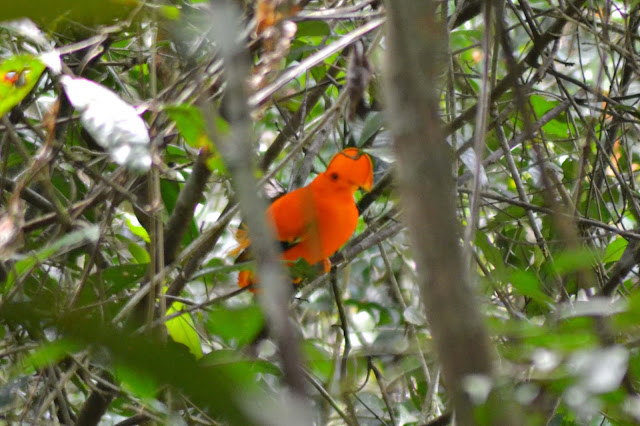 Guyane, Sentier, Kaw, Coq-de-roche, randonnée