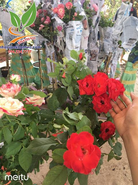 Cây hoa hồng cổ - tree rose - cực sai hoa - đẹp nghệ thuật 5acd4e82bd605f3e0671_result