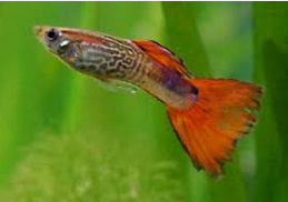 Jenis Jenis Ikan Hias Guppy Dan Harganya Di Pasaran