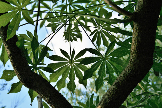 Picture of twin branches of a paw paw tree, with hand-shaped leaves against a blue sky. Photo by Lynn Greyling (publicdomainpictures.net)
