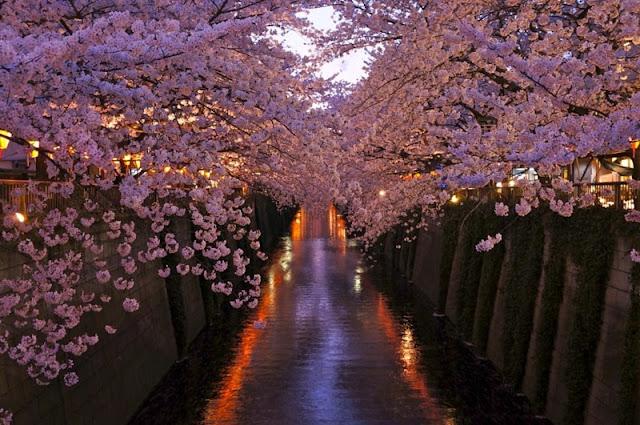 Chùm ảnh đẹp Hoa Anh Đào Nhật Bản vào tháng 02/2020 16
