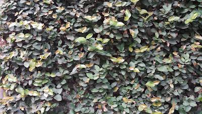 Jual Pohon Dolar di Bogor - Tukang Rumput Bogor