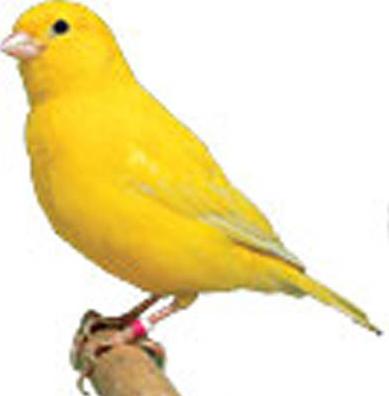 Gambar Burung Kenari Warna Kuning Lucu Foto Png