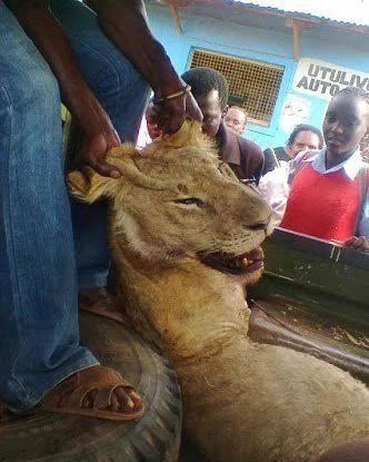 Nairobi on alert after 6 lions escape from National Park, one caught, 5 still missing