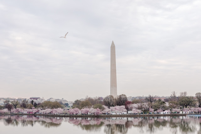 Washington DC Cherry Blossom Jefferson Memorial Engagement Session photographed by Heather Ryan Photography
