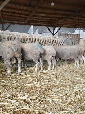 Koyunun koça geldiğini Nasıl anlarız