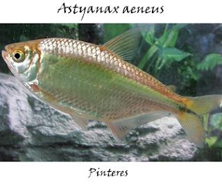 Central Tetra, Astyanax Aeneus (Günther, 1860)