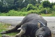 Kerbau Malang Mati Gara-gara Gosip