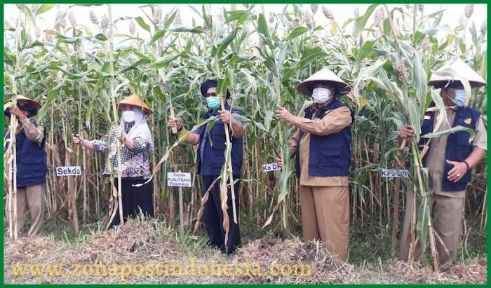 DPKH Kabupaten Situbondo bersama RPIK Dipa Puslitbang Peternakan, Lakukan Panen Benih Tanaman Sorgum Bioguma Agritan
