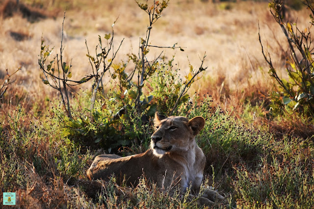 Leona en Savuti, Botswana