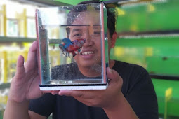 Awalnya Iseng Koleksi Ikan Cupang Saat Pandemi, Pemuda Ini Raup Omzet Rp 40 Juta Per Bulan