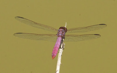 Roseate Skimmer (Orthemis ferruginea)