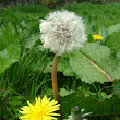 Dandelions: Some Recipes for Daily Use