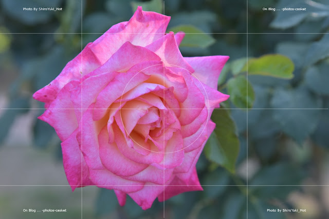 花 薔薇 HT Kordes' Perfecta Roses Of Picardy George Shearing