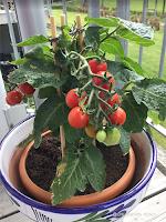 Tomatplanten har fått farge :-)