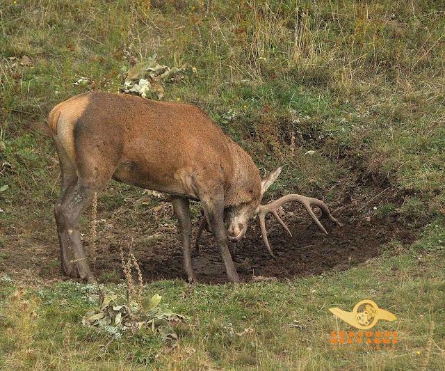 cervo che infila i palchi in una buca