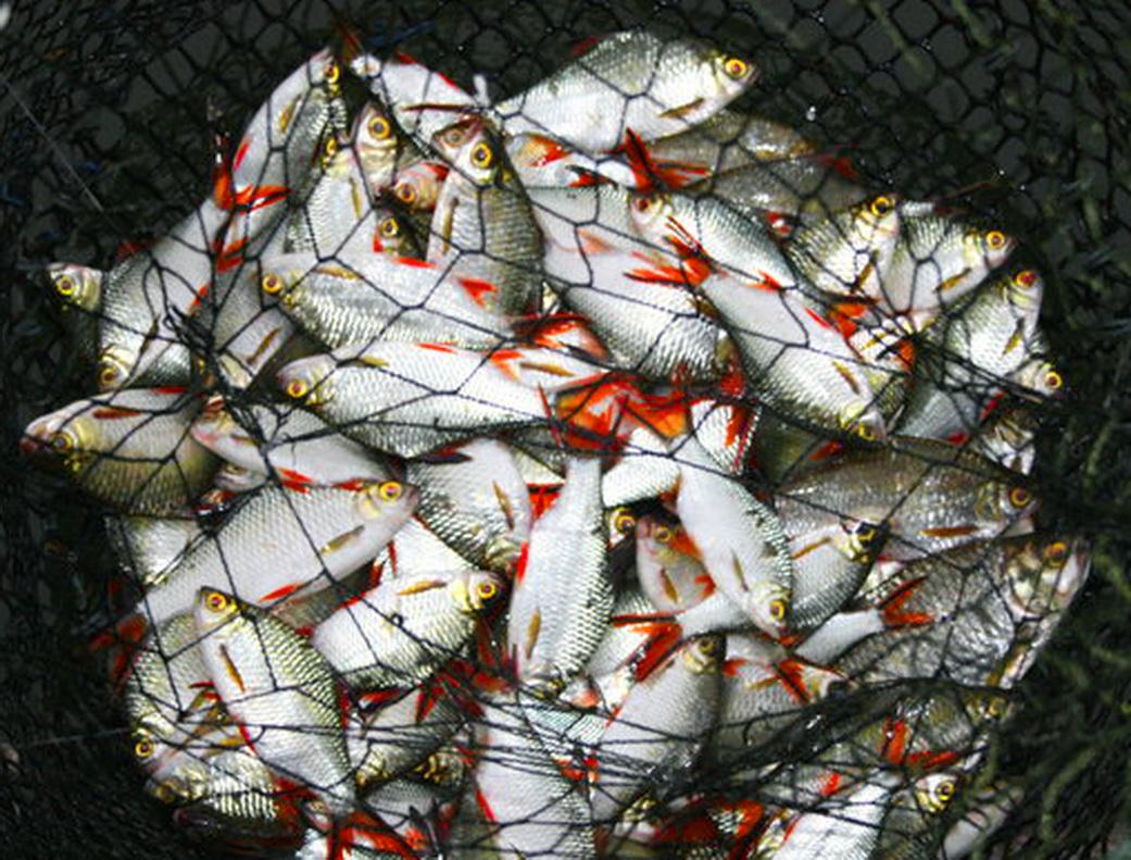 IdrisTalu: Aktiviti menuba ancam ikan patin dan talapia dalam sangkar