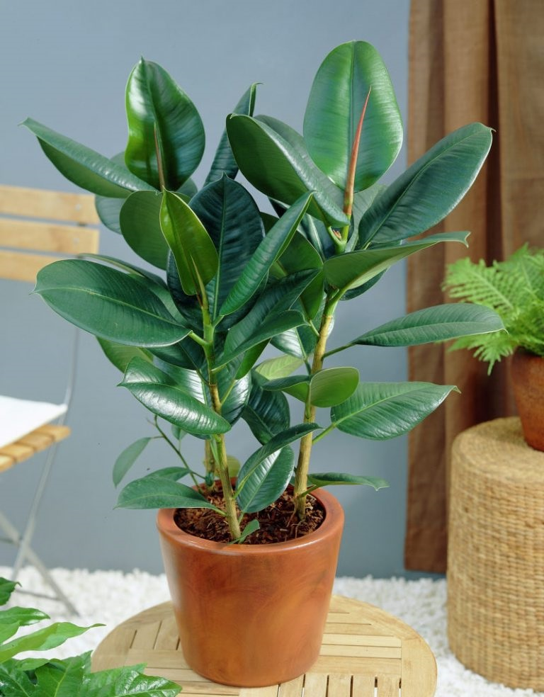"Ficus elastica ""Karet kepok"""