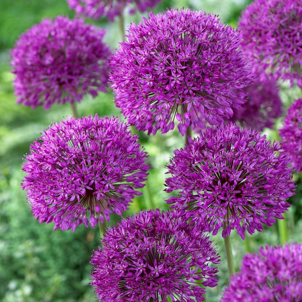 The Almighty Allium A Giveaway The Impatient Gardener