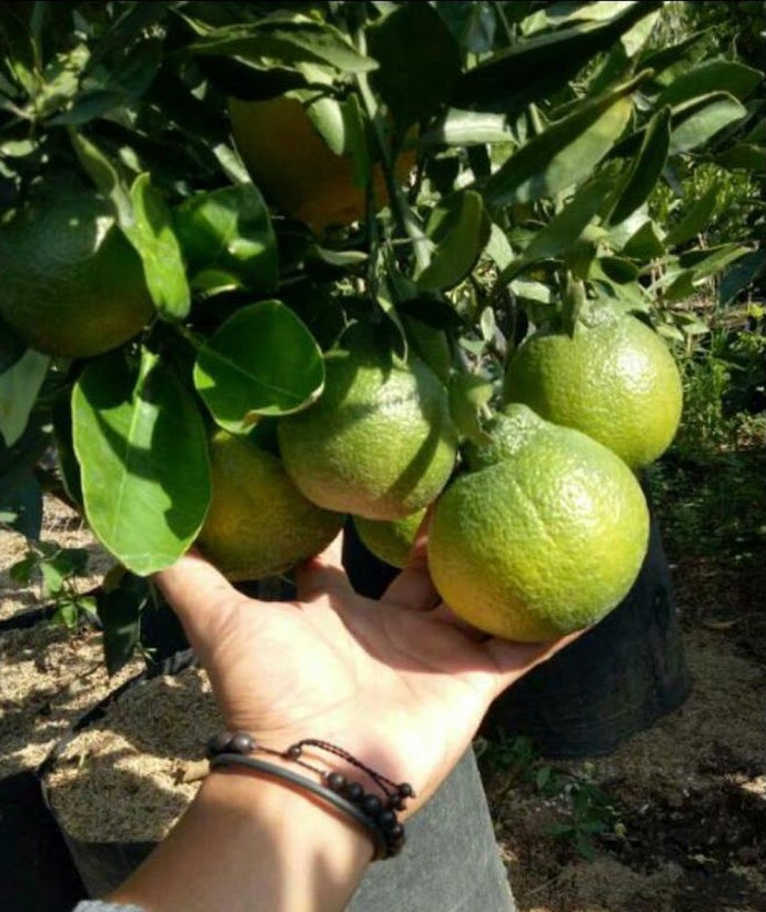 bibit buah jeruk dekopon super beli 2 gratis pupuk Bibit Unggul Batam