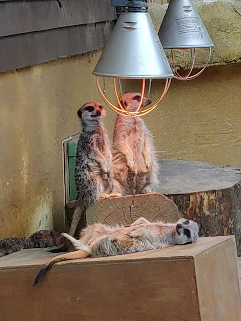 meerkats at Paradise Wildlife Park, #pwp