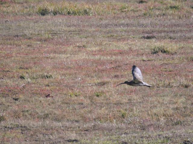 Rogerstown Estuary Bird Watching: curlew in flight