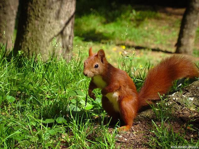 Wiewiórka w Parku Skaryszewskim