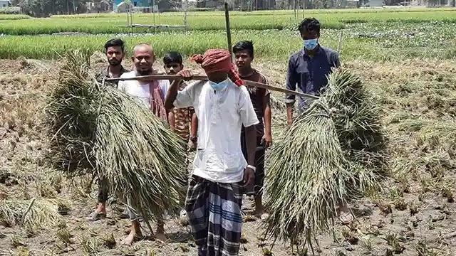 ঘাটাইলে কৃষকের ধান কেটে দিল কৃষকলীগের নেতা হেপলু