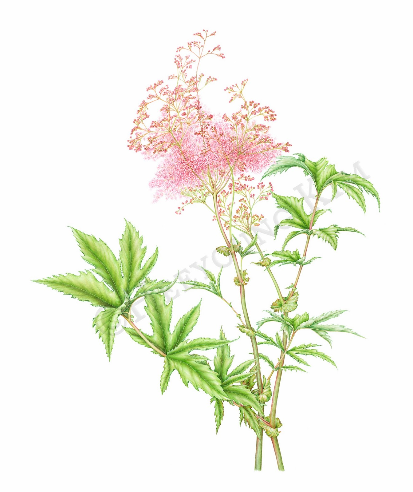 project 200 documenting prairie and woodland plants 30 queen of the prairie filipendula rubra. Black Bedroom Furniture Sets. Home Design Ideas