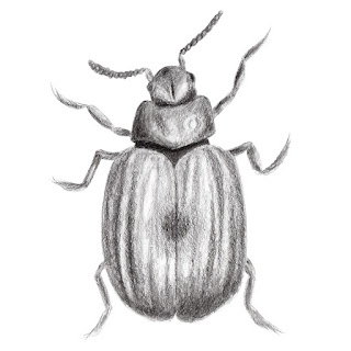 Monochrome beetle pencil drawing