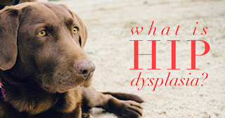 How is Hip Dysplasia Treated Medically? Small Animal Imaging, Cancer Research
