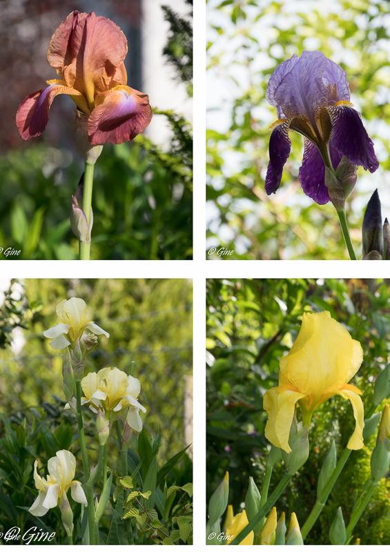Au jardin de gine acc l ration - Iris ne fleurissent pas ...