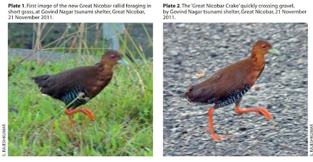 Great Nicobar Crake, new bird from India, Andaman birds, nicobar birds