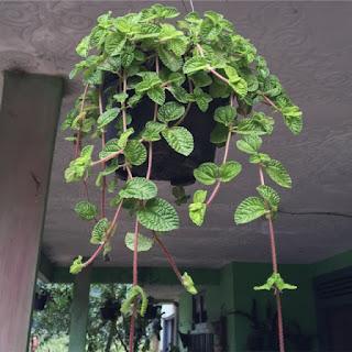 Tanaman Pilea Nummulariifolia