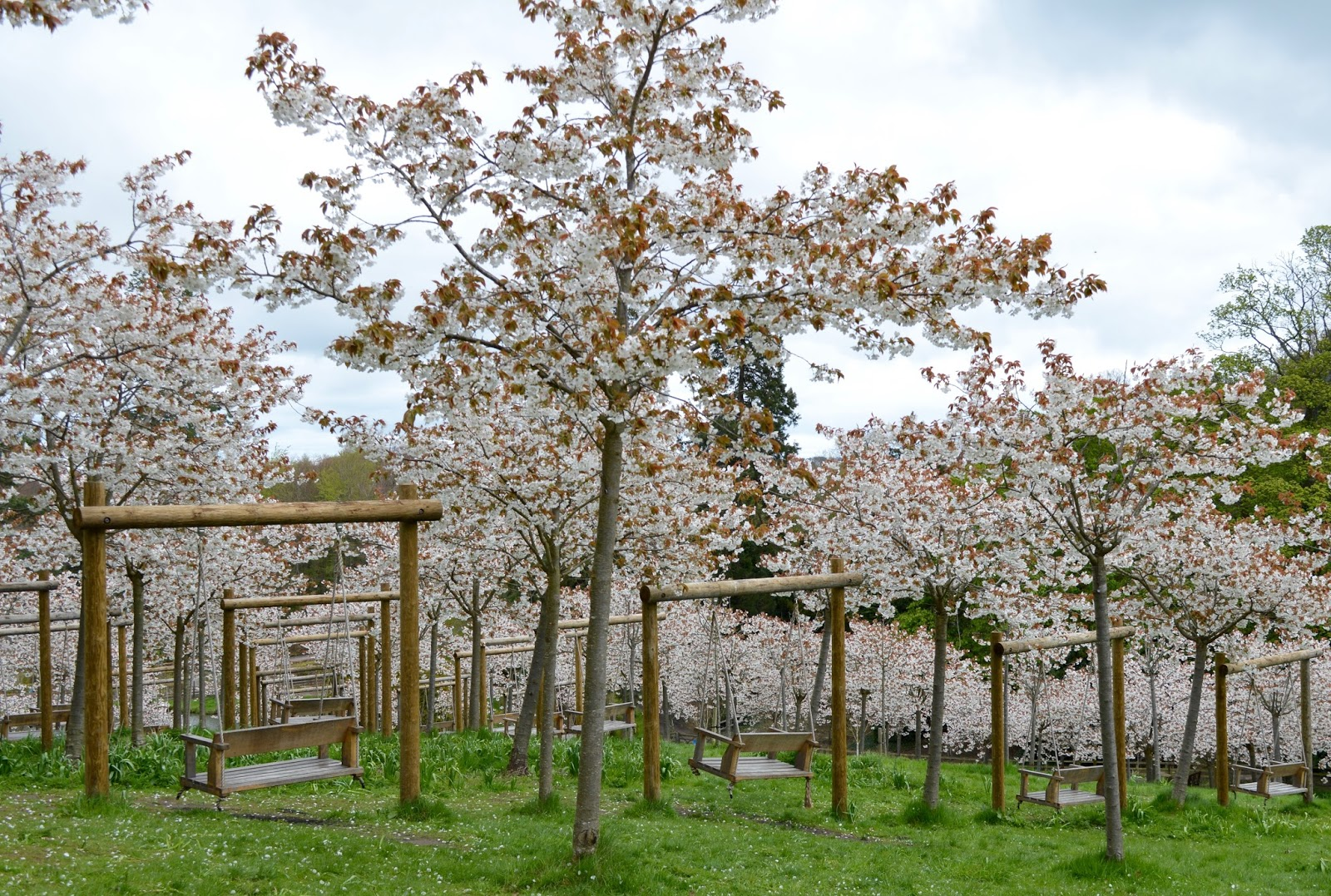 Northumberland in Bloom | My favourite gardens to visit with kids  - Alnwick Garden Cherry Blossom