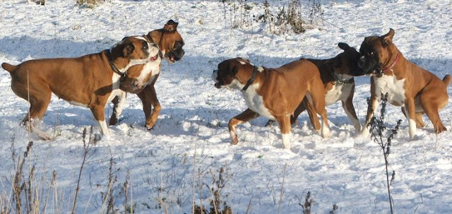Are Boxers Good Family Guard Dogs