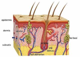 derinin katmanları