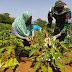 Dengan Dibantu Satgas TMMD Reg-109 Petani Terong Ungu Lebih Sejahtera