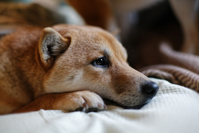 New Reader? Start here. Photo shows thoughtful dog.