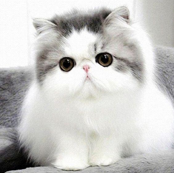 7 Jenis Kucing Terlucu Yang Ada Di Penjuru Dunia Coldeja Blog Seputar Informasi Menarik Unik Dan Bermanfaat